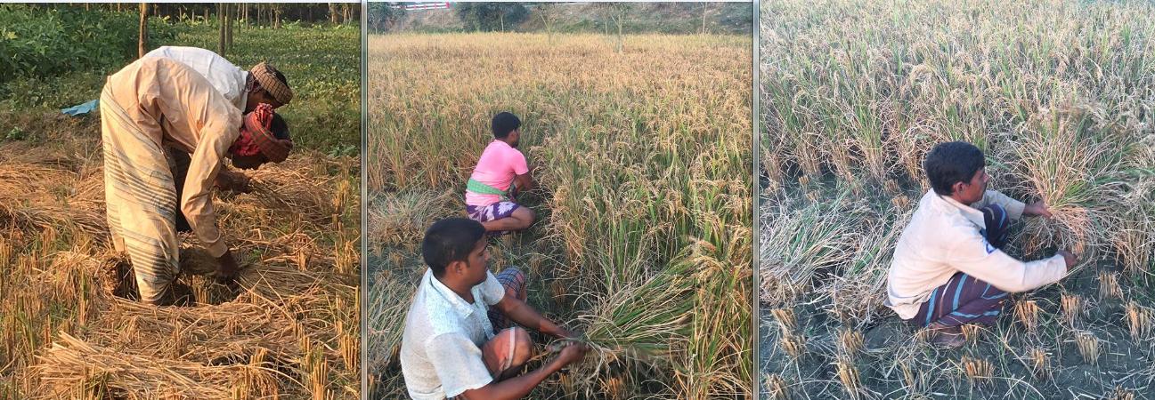 চাঁপাইনবাবগঞ্জে পাকা ধান কাটতে ব্যস্ত সময় পার করছে কৃষক